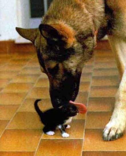 Ein Hund schleckt mit seiner Zunge über eine kleine Katze.