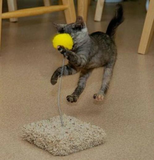 Eine Katze spielt mit einem Katzenspielgerät, das aus einem flauschigen Fuß und einem an einer Feder befestigten Ball besteht. Der gelbe flauschige Ball erwischt die Katze im Gesicht, während diese sich in der Luft befindet.