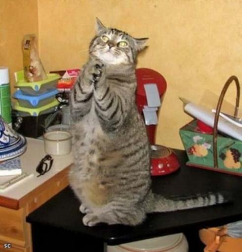Eine Katze steht auf den Hinterbeinen auf einem Tisch. Sie scheint zu beten, ihre Pfoten hat sie gefaltet und sie blickt nach oben.