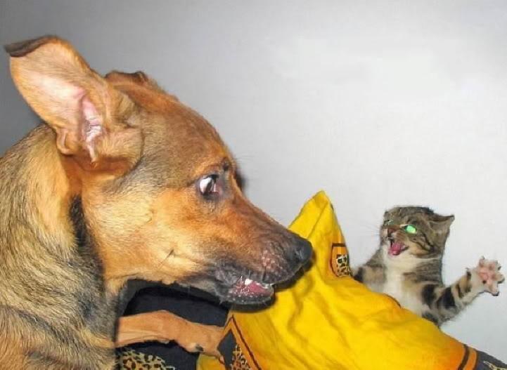 Eine Katze schaut hinter einem Kissen hervor, sie hebt drohend eine Pfote und scheint zu fauchen. Ein Hund schaut sie entsetzt an. Die Katze scheint den Hund gerade erschreckt zu haben.