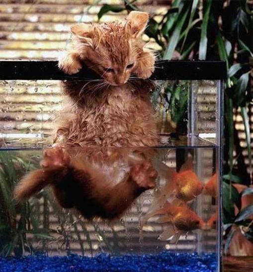 Eine Katze hängt halb in einem Aquarium, sie hängt nur noch mit den Vorderpfoten am Rande des Wasserbehälters. Im Aquarium schwimmen zwei Fische.