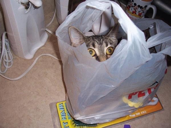 Eine Katze hat sich in einer Plastiktüte versteckt. Sie schaut aus der Öffnung der Tüte heraus.