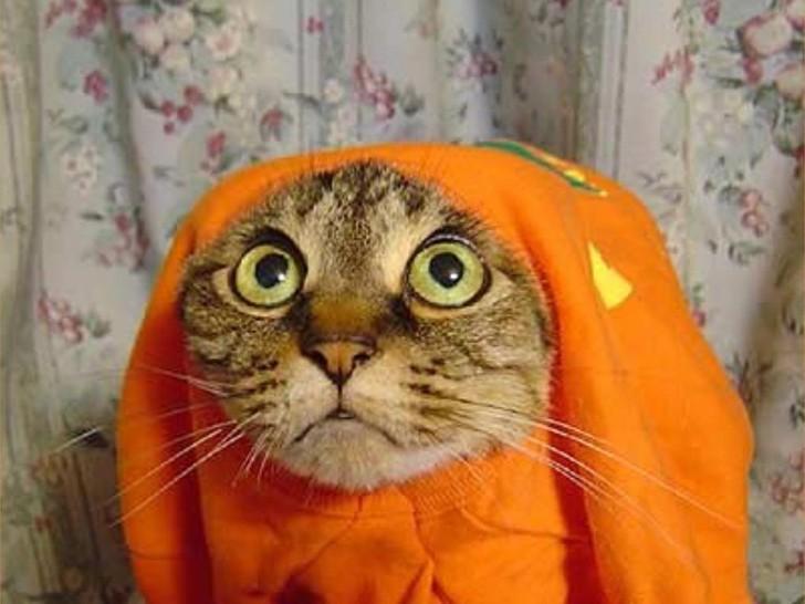 Eine Katze hat ihren Kopf durch ein orangenes T-Shirt gesteckt und schaut mit großen Augen.