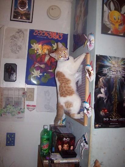 Eine Katze klettert eine Wand in einem Zimmer hinauf. Sie krallt sich mit ihren Krallen in einer Pinnwand fest, die an der Wand hängt.