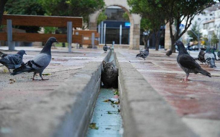 In einer Regenrinne auf einem öffentlichen Platz lauert eine Katze. Um die Rinne herum laufen Tauben über den Platz. Die Katze scheint darauf zu lauern, dass ein Vogel ihn ihre Nähe kommt und sie zuschnappen kann.