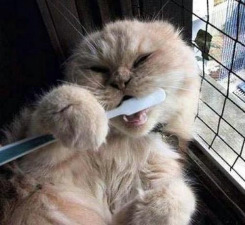 Eine Katze hält eine Zahnbürste in den Pfoten und putzt sich die Zähne.