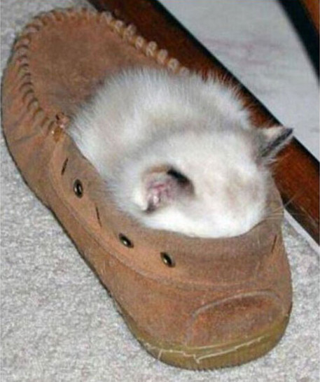 Eine kleine Katze schläft in einem Schuh. Nur noch die Oberseite der Katze schaut aus dem Schuh heraus.