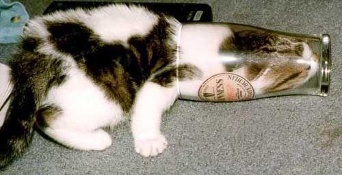 Eine Katze steckt mit ihrem Kopf in einem Bierglas.