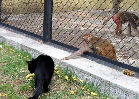 Eine Katze und ein Affe wollen beide an eine Banane heran, die auf dem Boden liegt. Der Affe ist in einem Käfig und versucht mit seiner Hand unter dem Zaun hindurch die Banane zu erreichen.