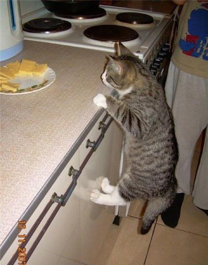 Auf einer Küchenzeile steht ein Teller mit Käse. Eine Katze versucht hinaufzuklettern und an den Käse zu gelangen. Dabei hängt sie mit ihren Pfoten an der Kante der Küchenzeile.