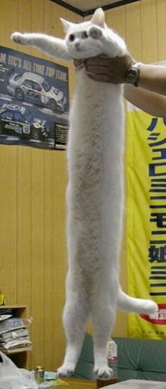 Eine extrem lange Katze wird von einem Mann in die Höhe gehalten. Sie scheint einen Meter oder länger zu sein.