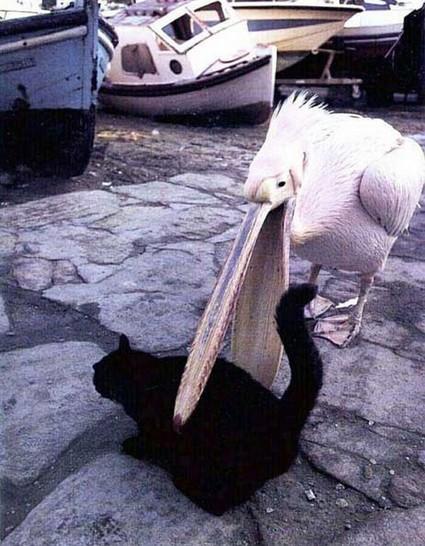 In einem Hafen liegt eine schwarze Katze auf dem Boden. Ein Pelikan steht neben ihr, reißt seinen Schnabel auf und schnappt die Katze.