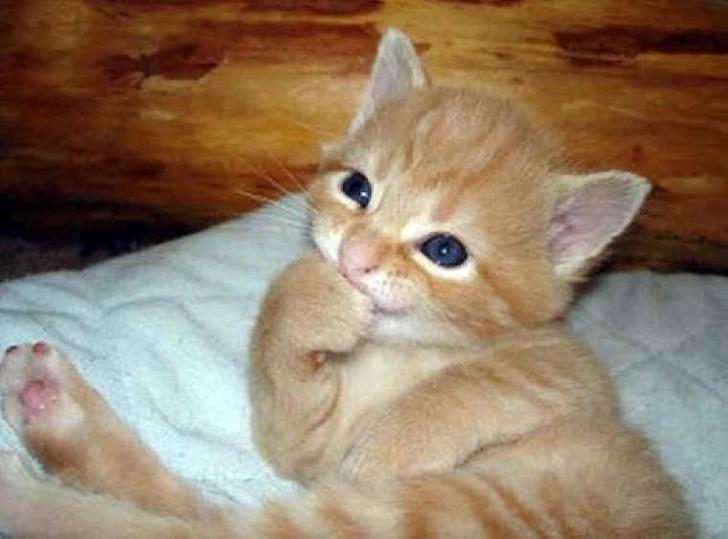 Eine kleine Katze schmunzelt und hält sich kichernd die Pfote vor die Schnauze. Sie schaut sehr lustig und süß aus.