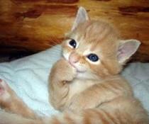 Kichernde Katze