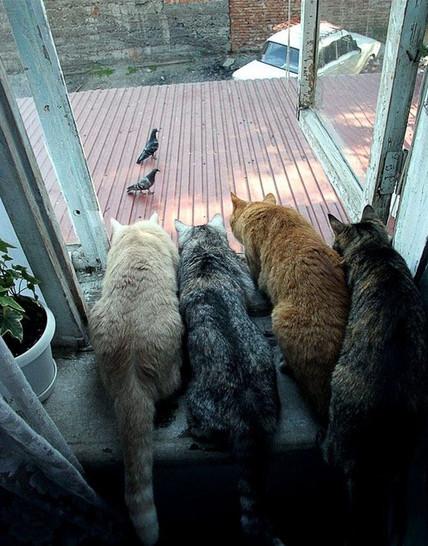 Vier Katzen sitzen auf der Fensterbank vor einem geöffneten Fenster und schauen allesamt hinaus auf das Vordach. Auf diesem Vordach spazieren mehrere Tauben hin und her. Die Katzen scheinen sich für die Jagd auf die Vögel vorzubereiten.