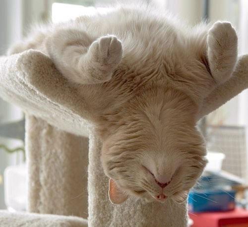 Eine Katze liegt auf dem Rücken auf einem Katzen-Kletterbaum. Ihr Kopf hängt herunter. Es sieht so aus, als würde die Katze eine Yoga-Übung machen.
